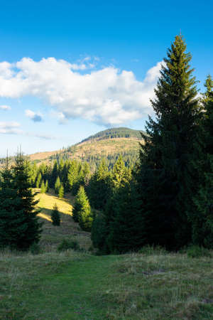 spruce forests of the apuseni natural park. sunny afternoon in mountains. beautiful travel destination. discover romania concept Stock Photo