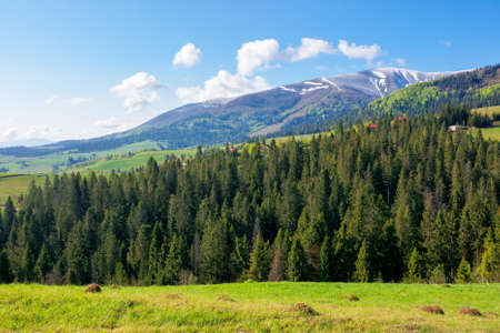 forest in a mountain landscape. trees on the grassy hill of the beautiful scenery. wonderful sunny nature background. distant peak in snow