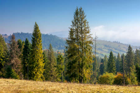 spruce forest on the hillside in autumn. sunny and hazy morning in carpathian mountains. ridge in the distance beneath a clouds on the blue sky Stock Photo
