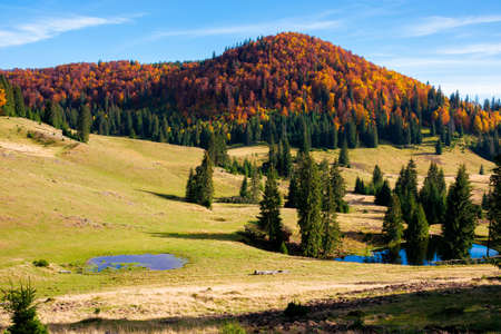 mountain landscape in autumn. forest in fall foliage on top of a hill. spruce trees and pond on a grassy meadow. beautiful landscape on a sunny day. clouds on the blue sky