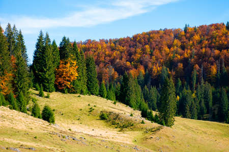 mountain landscape in autumn. forest in fall foliage on top of a hill. spruce trees on a grassy meadow. beautiful landscape on a sunny day. clouds on the blue sky