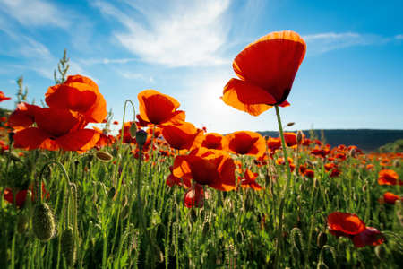 red poppy flower in the field. wonderful sunny afternoon weather of countryside. blurred nature background. remembrance day concept Stock Photo