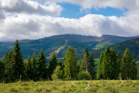 spruce trees on the meadow in mountains. dry and sunny september weather with clouds on thesky. borzhava ridge, ukraine