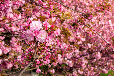 pink sakura blossom above the green grass. nature beauty in springtime. Stock Photo