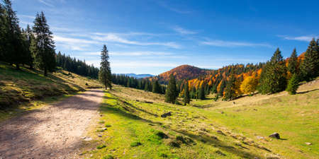 mountain panorama in autumn. forest in fall foliage on top of a hill. spruce trees along the road through grassy meadow. beautiful landscape on a sunny day. clouds on the blue sky