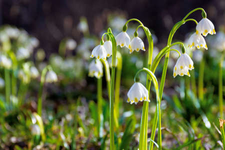 bunch of snowflake flowers on the forest glade. spring nature background on a sunny day Stock Photo
