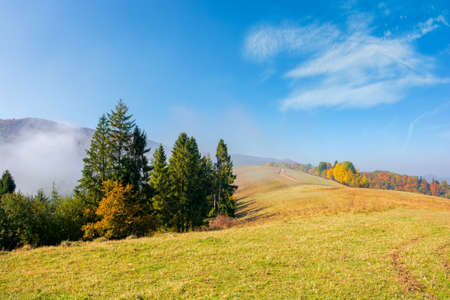 foggy autumn landscape. spruce trees on the meadow. mountain behind the morning mist. cloud inversion natural phenomenon observed from the side. wonderful weather