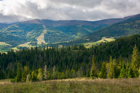 spruce forest on the meadow in mountains. autumn weather with clouds on the sky. beautiful carpathian landscape