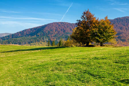 autumn landscape in mountains. beech trees on the grassy hill. wonderful sunny weather on a sunny morning