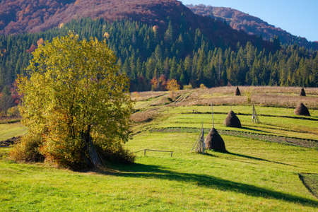 carpathian rural landscape in autumn. beautiful countryside scenery on a sunny day. haystacks on the green fields rolling through hills. trees in fall foliage Stock Photo