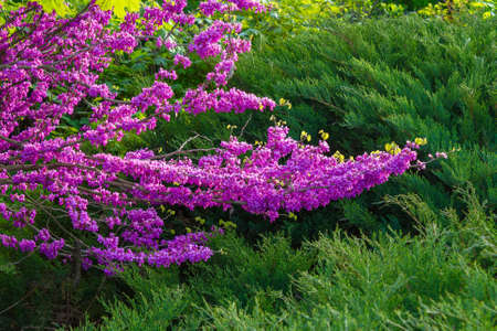 judas tree blossoming in the park. beautiful nature background in morning light. purple and green colors