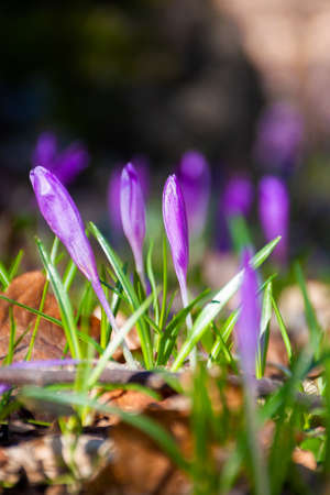 purple crocus flowers on the forest glade. beautiful nature scenery on a sunny day in springtime Stock Photo