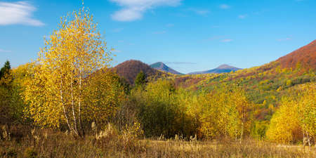 yellow autumnal landscape in mountains. beautiful nature scenery with beech forest in yellow foliage. warm sunny weather beneath a blue sky. carpathian countryside