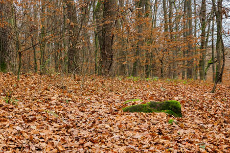 leafless beech trees in the forest. moss on the tree trunk. beautiful autumn scenery in november Stock Photo