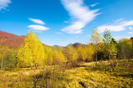 birch trees in mountainous landscape. yellow foliage on the branches. beautiful nature scenery of uzhanian national park. sunny autumn weather with blue sky.