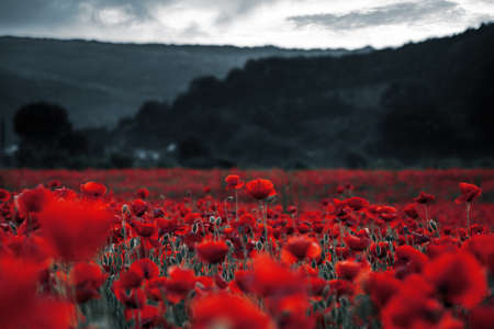 red poppies in the field. background imagery for remembrance or armistice day on 11 of november. dark clouds on the sky. selective color Stock Photo