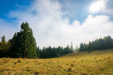 cold autumn morning. foggy weather scenery. spruce forest on the grassy meadow. nature magic concept Stock Photo