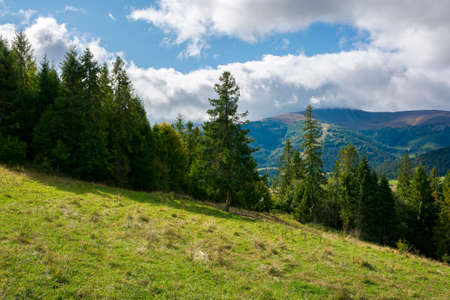 spruce forest on the meadow in mountains. sunny autumn weather with clouds on the sky. beautiful carpathian landscape Stock Photo