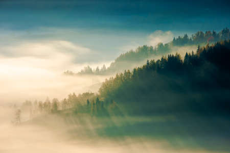 fir trees on a meadow down the hill to coniferous forest in foggy mountains at sunrise