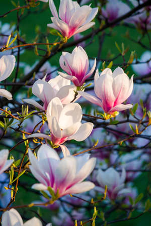 blossom of the pink magnolia. beautiful nature background in evening light