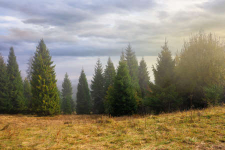 cold autumn morning. foggy weather scenery. spruce forest on the grassy meadow. nature magic concept Stock Photo - 157422345