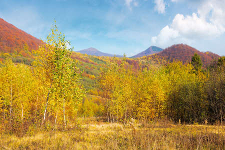 birch forest on the hill. beautiful autumn landscape of carpathian mountains. bright and vivid scenery in fall colors. sunny weather with fluffy clouds on the sky