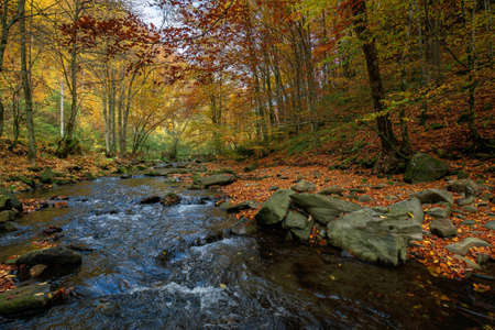 mountain river in beech forest. beautiful autumnal scenery of carpathian woodland. trees in fall colors. boulders in the stream. nature freshness concept 免版税图像