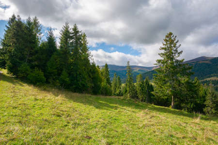 spruce forest on the meadow in mountains. sunny autumn weather with clouds on the sky. beautiful carpathian landscape 免版税图像