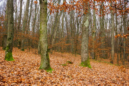forest and fallen foliage in november. dry leaves on the ground. leafless branches and trunks with moss. calm nature scenery. Stock Photo - 157422939