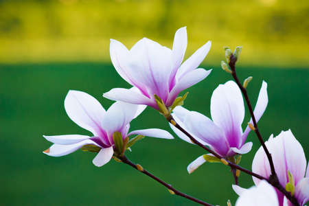 pink magnolia on the green background. beautiful nature background in springtime. bright sunny day Stock Photo