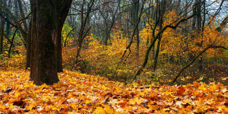 sunny autumn scenery with trees. branches in colorful foliage. ground covered with fallen leaves. seasonal change of nature. warm and dry weather Stock Photo