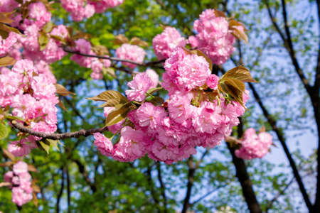 pink cherry blossom on a sunny day. nature beauty in springtime