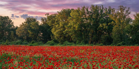 red poppies in the field. wonderful sunny weather. clouds on the sky. beauty of nature concept
