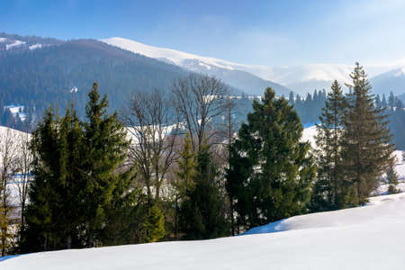 spruce forest on the snow covered meadow. beautiful winter landscape in mountains on a sunny morning