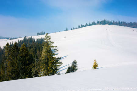 spruce forest on a snow covered hill. beautiful mountain landscape in winter. misty weather with bright skyspruce forest on a snow covered hill. beautiful mountain landscape in winter. misty weather with bright sky