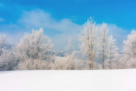 trees in hoarfrost on a snow covered meadow. wonderful wintertime scenery on the frosty morning in mountains. sunny weather with blue sky. true winter landscape Stock Photo