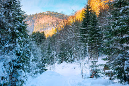 road through synevyr national park in winter. trees and path covered in snow. beautiful mountain landscape in afternoon Stock Photo