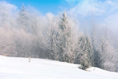 tall spruce trees in hoarfrost in the morning. beautiful winter nature scenery on a bright misty day. snow on the ground