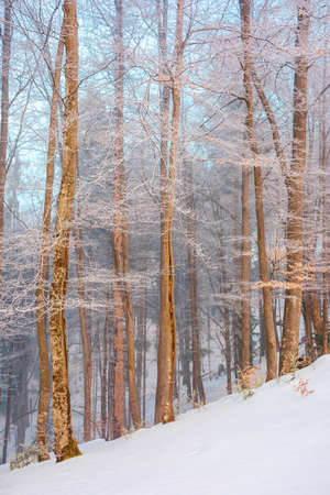 tall beech trees in hoarfrost at sunrise. beautiful winter nature scenery on a bright misty morning. snow on the ground