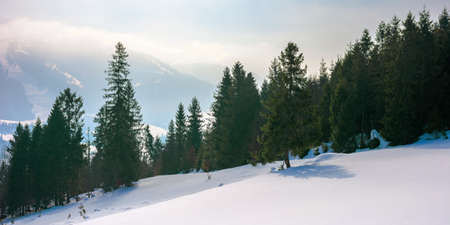 spruce forest on the snow covered hill. beautiful winter landscape in mountains. distant ridge in fog and clouds. carpathian countryside morning