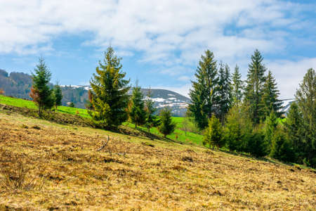 forest on the grassy meadow in mountains. beautiful sunny landscape of mountainous countryside. fluffy clouds on the blue sky