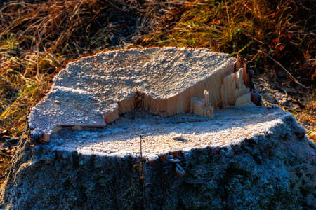 deforestation in the mountains. stump of fresh cut trees in hoarfrost. cold autumn morning countryside scenery