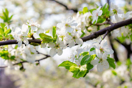 white apple blossom. beautiful orchard details in springtime. sunny weather