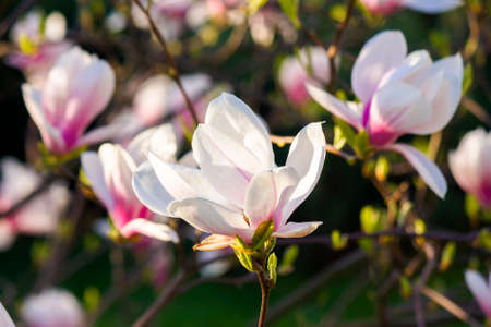 pink magnolia blossoms in morning light. beautiful nature background in springtime. bright sunny day. harmony concept