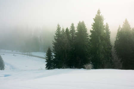 spruce trees among the morning fog in winter on snow covered meadow. beautiful nature in cold season. moody dramatic weather