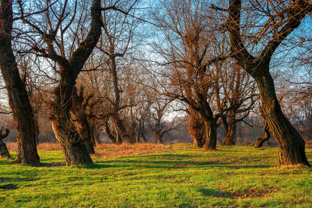leafless trees in the park at sunrise. green grass on the ground in morning light. calm nature scenery in springtime Stock Photo