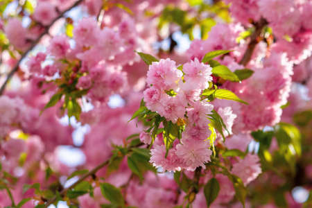 pink cherry blossom in spring time. lush flowers sakura on branches in morning light. beautiful nature background Stock Photo