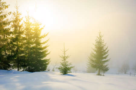 fog on a sunny winter morning. spruce trees among the glowing mist. beautiful scenery in mountains. hills covered in snow. cold frosty weather