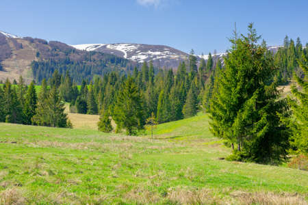 carpathian springtime landscape on a sunny day. beautiful nature scenery with spruce trees on the grassy meadow. snow capped ridge in the distance. warm weather with fluffy clouds on the sky Stock fotó
