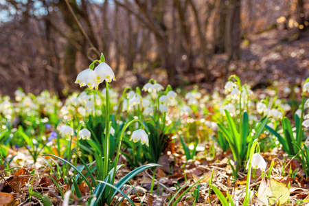 white snowflake flowers in the forest. beautiful nature background on a bright sunny day in spring